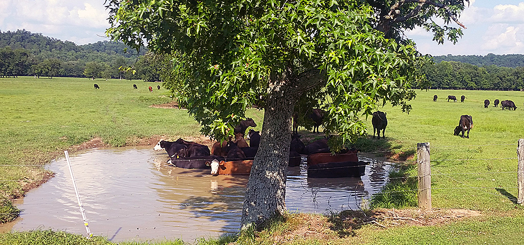 Cattle cooling off in a pond on a hot summer day